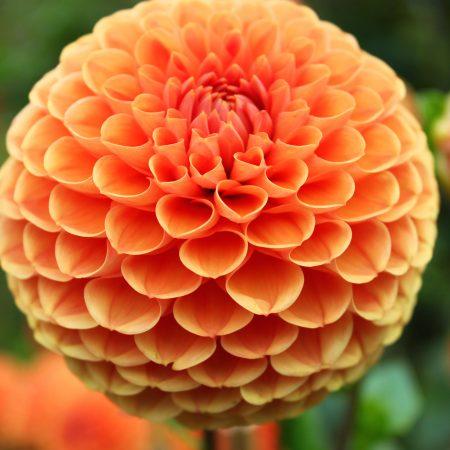 flou(-e)r-specialty-floral-events-dahlia-wedding-flowers-1